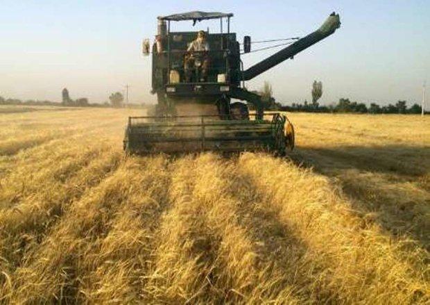 300 هزار تن گندم از کشاورزان زنجانی خریداری شده است