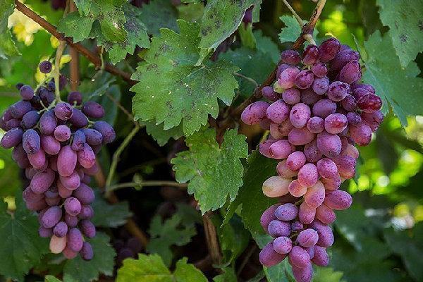 نخستین جشنواره انگور و فرآورده های آن در قروه برگزار گردید