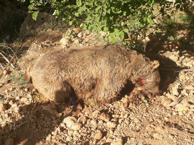 کشف لاشه یک قلاده خرس قهوه ای در کهگیلویه و بویراحمد