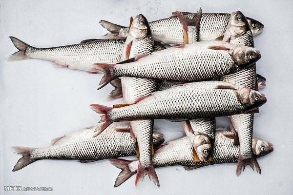 ماهی سالمون تراریخته در کانادا فراوری می گردد