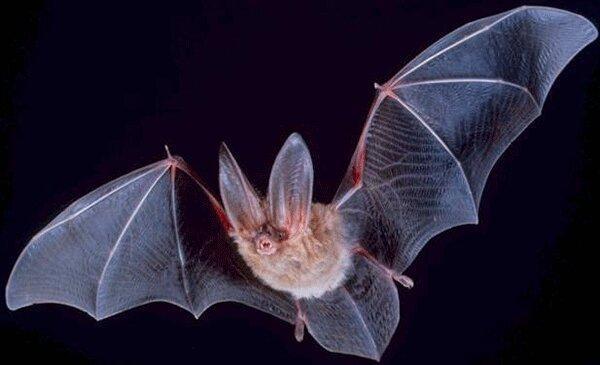 ویروس کرونا از 70 سال قبل روی خفاش ها وجود داشته است