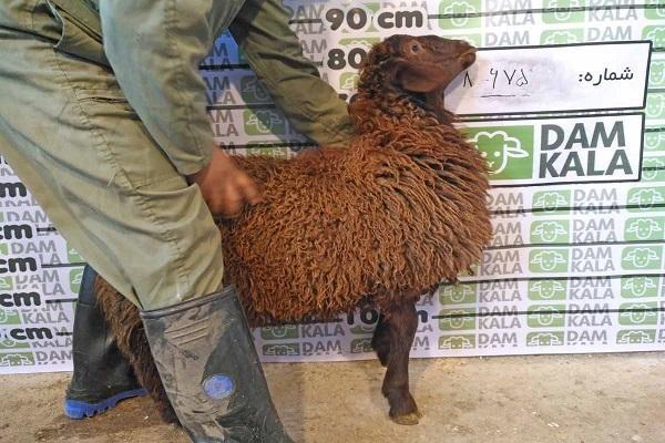 در کوتاه ترین زمان، از دامکالا، گوسفند زنده بخریم