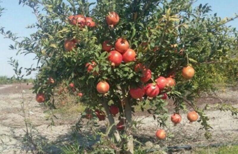 خبرنگاران فراوری محصول باغی در یزد بیش از 48 هزار تن افزایش یافت